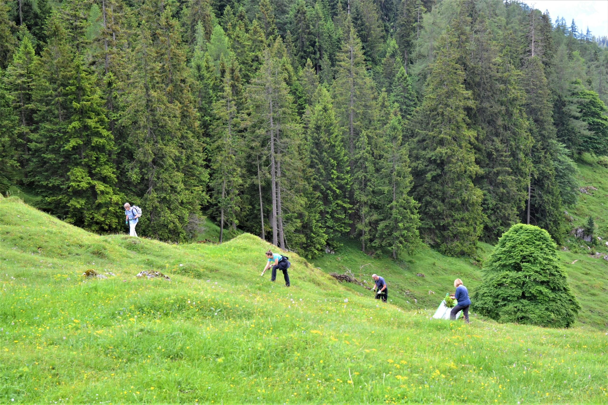 Menschen in gebückter Arbeitshaltung auf Bergwiese mit Wald im Hintergrund