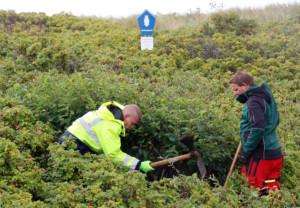 Zwei Personen arbeiten mit Hacken zwischen Kartoffel-Rosen-Sträuchern, im Hintergrund ein Nationalpark-Schild